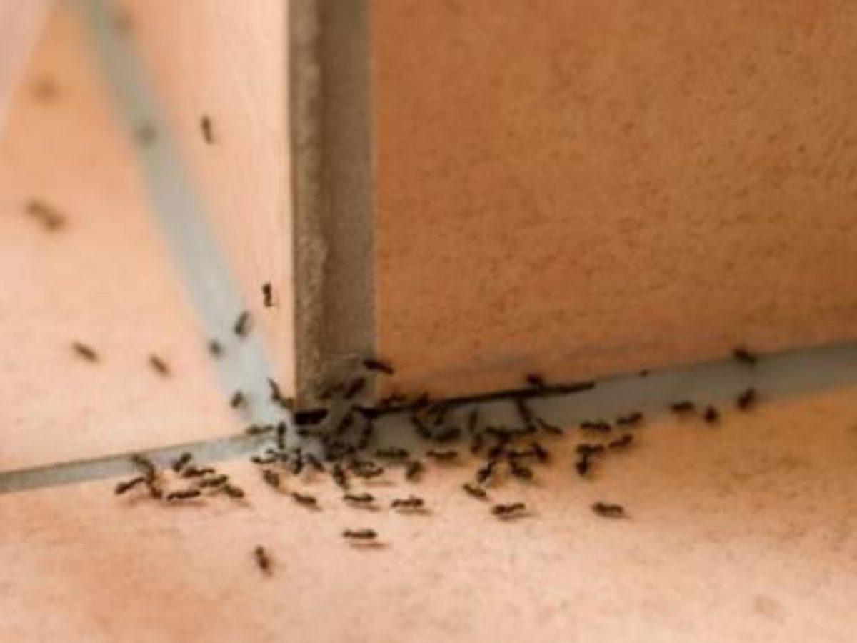Prodotti Efficaci Contro Le Formiche rimedio efficace contro le formiche in casa: come eliminarle